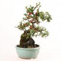 Cotoneaster microphyllus sur roche bonsaï shohin 25 cm import Japon 2018 ref.18014