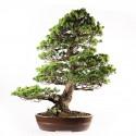 Pin blanc du Japon pinus pentaphylla bonsaï spécimen 83 cm ref.18019