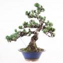 Pin blanc du Japon pinus pentaphylla bonsaï 45 cm ref.18050