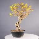 Forsythia suspensa prébonsaï 42 cm import Corée ref.18052
