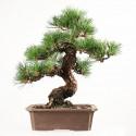 Pin noir du Japon pinus thunbergii Kuro Matsu bonsai 47 cm import Japon 2018 ref.18075
