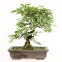 Charme du Japon carpinus laxiflora shohin bonsaï 27 cm import Japon 2018 ref.18084