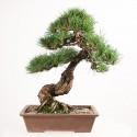 Pin noir du Japon pinus thunbergii Kuro Matsu bonsai 46 cm import Japon 2018 ref.18085