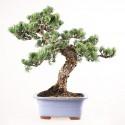 Pin blanc du Japon pinus pentaphylla bonsaï 51 cm ref.18100