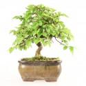 Charme du Japon carpinus laxiflora shohin bonsaï 26 cm import Japon 2018 ref.18103