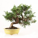 Juniperus chinensis bonsaï 27 cm import Japon ref.18104