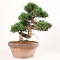 Juniperus chinensis itoigawa bonsaï 25 cm import Japon ref.18109