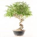 Forsythia suspensa prébonsaï 40 cm import Corée ref.18119
