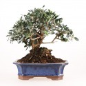 Olivier sauvage bonsaï olea europaea sylvestris 29 cm ref.18128
