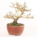 Premna japonica Nioi Kaede shohin bonsaï 18 cm import Japon 2018 ref.18138