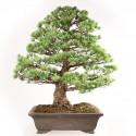 Pin blanc du Japon pinus pentaphylla bonsaï spécimen 72 cm ref.18150