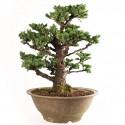 Épicéa de Yedo picea jezoensis bonsaï 38cm  import Japon 2018 ref.18156