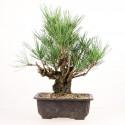Pinus thunbergii corticosa prébonsaï import Japon 26 cm ref.18175