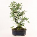 Osteomeles subrotunda shohin bonsaï 32 cm ref.18180