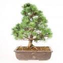 Pin blanc du Japon pinus parviflora bonsaï 40 cm ref.18217