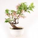 Cerisier du Japon Sakura prébonsaï 30 cm import Japon 2018 ref.18232