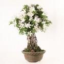 Azalée satsuki Seiko neagari bonsaï import 2018 ref.18234
