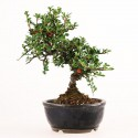 Cotoneaster microphyllus bonsaï shohin 23 cm import Japon 2018 ref.18260