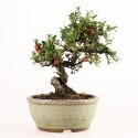Cotoneaster microphyllus bonsaï shohin 20 cm import Japon 2018 ref.18265