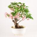 Cerisier du Japon Sakura prébonsaï 30 cm import Japon 2018 ref.18266