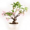 Cerisier du Japon Sakura prébonsaï 32 cm import Japon 2018 ref.18269
