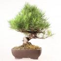 Pin rouge du japon pinus densiflora bonsaï import Japon 52 cm ref.18280