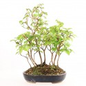 Charme à feuilles rouges carpinus laxiflora shohin bonsaï yose-ue 25 cm import Japon 2018 ref.18291