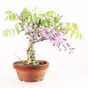 Glycine du Japon wisteria floribunda prébonsaï 23 cm ref.18342