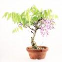 Glycine du Japon wisteria floribunda prébonsaï 25 cm ref.18345