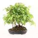 Charme à feuilles rouges carpinus laxiflora shohin bonsaï yose-ue 22 cm import Japon 2018 ref.18346