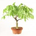 Glycine du Japon wisteria floribunda prébonsaï 30 cm ref.18381
