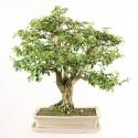 Troène de Chine bonsaï 48 cm ref.18391