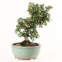 Cotoneaster microphyllus bonsaï shohin 22 cm import Japon 2018 ref.18395
