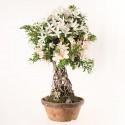 Azalée satsuki Seiko neagari bonsaï import 2018 ref.18409