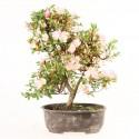 Azalée satsuki Rhododendron Indicum prébonsaï import Japon 2018 ref.18420