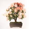 Azalée satsuki Rhododendron Indicum Miharu bonsaï import 2018 ref.18427