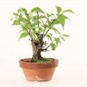 Prunus Mume abricotier du Japon prébonsaï 13 cm ref.18431