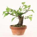 Prunus Mume abricotier du Japon prébonsaï 12 cm ref.18433