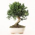 Olivier sauvage bonsaï olea europaea sylvestris 35 cm ref.18440