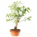 Prunus Mume abricotier du Japon prébonsaï 34 cm ref.18464