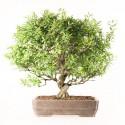 Grenadier punica granatum nejikan bonsaï import Japon 53 cm ref.18532