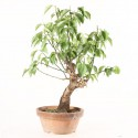 Prunus Mume abricotier du Japon prébonsaï 25 cm ref.18539