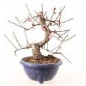 Prunus Mume abricotier du Japon prébonsaï floraison rose 25 cm ref.19022