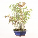 Groupe d'acer palmatum Yamamomiji bonsaï 38 cm import Japon ref.19056