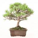 Pin rouge du japon pinus densiflora bonsaï import Japon 44 cm ref.19058