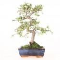 Orme de Chine ulmus parvifolia bonsai semi-acclimaté ref.19066