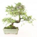 Orme de Chine ulmus parvifolia bonsai semi-acclimaté ref.19067