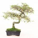 Orme de Chine ulmus parvifolia bonsai semi-acclimaté ref.19079