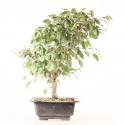 Charme de Corée carpinus coreana prébonsaï 33 cm ref.19096