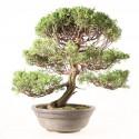 Juniperus chinensis bonsaï 47 cm import Japon ref.19126